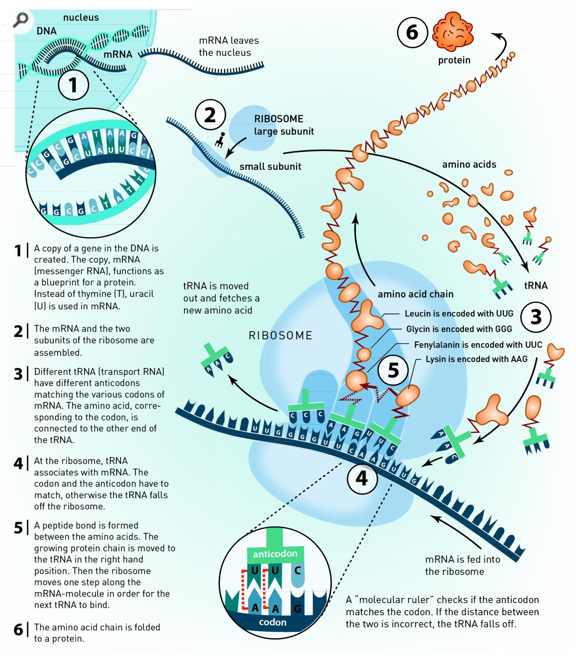 Protein mr cartlidges science blog dna2 malvernweather Gallery
